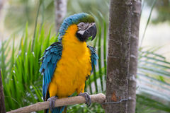 Blue and yellow macaw Royalty Free Stock Photo