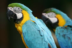 Blue & Yellow Macaws Royalty Free Stock Photography