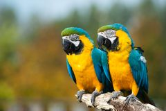 Blue and yellow macaws (Ara ararauna). Close up of two beautiful blue and yellow macaws (Ara ararauna Royalty Free Stock Photo