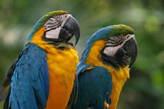 Blue-and-yellow macaws Stock Image