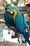 Blue-and-yellow Macaws or blue and yellow parrot Royalty Free Stock Images