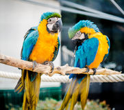 Blue-and-yellow macaws Royalty Free Stock Photography
