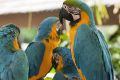 Blue and Yellow Macaws. A group of Blue and Yellow Macaws Stock Images