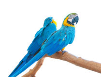 Blue-and-Yellow Macaws isolated Stock Photo