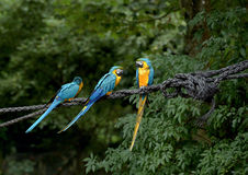 Blue and Yellow Macaws Royalty Free Stock Photo