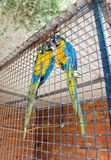 Blue and Yellow Macaws Royalty Free Stock Images