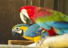 Blue & Yellow McCaw Parrot Royalty Free Stock Photos