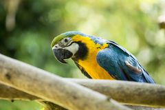 Blue & Yellow McCaw Parrot Stock Photography