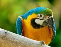Blue & Yellow McCaw Parrot Royalty Free Stock Photography