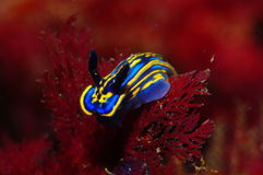 A blue and yellow nudibranch Stock Photo