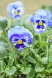 Blue and Yellow Pansies, Spring Flowers royalty free stock images