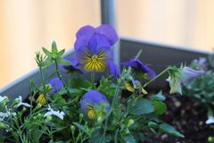 Blue and yellow pansy Stock Image