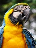 Blue and yellow parrot. A portrait of a bright blue and yellow macaw parrot, found at the Tama Zoological Wilderness Park in Japan.  Technical name:  Ara Stock Photo