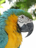 Blue and yellow parrot. Close up of a  macaw parrot Stock Photos