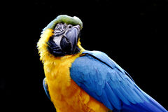 Blue-and-yellow parrot Stock Images