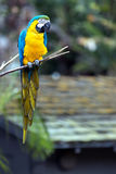 Blue and Yellow Parrot. A blue and yellow parrot sits peacefully on a tree branch Royalty Free Stock Photos