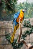 Blue and yellow parrot ara Stock Photos