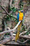 Blue and yellow parrot ara Royalty Free Stock Photos