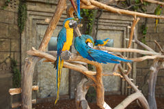 A blue yellow parrot bird in a jungle on an old tree against a background of a stone wall. Colorful colored parrots on dry branches of trees. Wild birds in the Stock Image