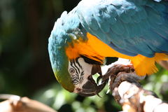 Blue and yellow parrot bites its claws Royalty Free Stock Images