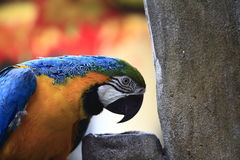 Blue Yellow Parrot Bowing Stock Photos