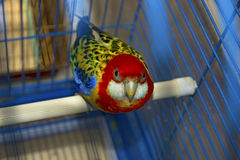 Blue with yellow parrot in a cage, looking directly at us Royalty Free Stock Image
