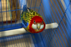 Blue with yellow parrot in a cage, looking directly at us Stock Photography