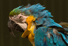 Blue and yellow parrot head Stock Image