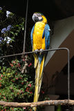 Blue and yellow parrot. Stock Photo