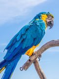 Blue and yellow parrot. Hold on branch Stock Images
