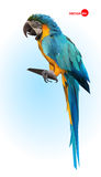 Blue and yellow parrot, macaw. Brazilian Ara.  Big wild tropical bird, Parrot sitting on a wooden branch on a blue Stock Images
