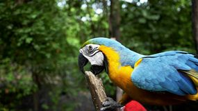 Blue and Yellow Parrot Macro Photography Royalty Free Stock Photos