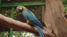 Blue and yellow parrot sitting on tree branch in cage of zoo stock footage