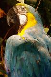 Blue and yellow parrot taxidermy object Royalty Free Stock Image