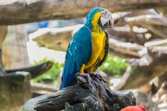 Blue and yellow parrot on the tree. In Bangkok, Thailand Royalty Free Stock Photos