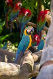 Blue and yellow parrot on the tree. In Bangkok, Thailand Stock Photo