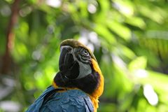 Blue and yellow parrot twists its neck Royalty Free Stock Photos