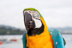 Blue and yellow parrot Stock Photo