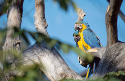 Blue and yellow parrots Royalty Free Stock Photography