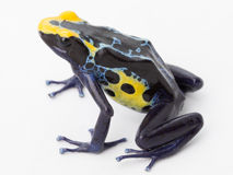 Blue yellow poison frog Royalty Free Stock Photo