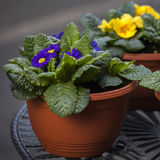 Blue and Yellow Primula Potted Plant in brown Pot closeup on fou Stock Photography