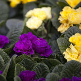 Blue and Yellow Primula Potted Plant Stock Images