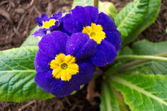 Blue and yellow promrose. Close up of blue and yellow primrose Stock Photography
