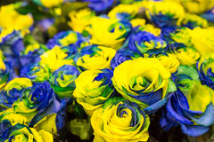 Blue and yellow roses Stock Photos