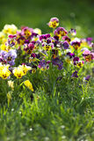 Blue and yellow spring violets in the green grass Stock Images