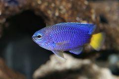 Blue Yellow Tail Damsel Nemo Stock Photos