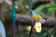 Blue-and-yellow tanager Stock Photo