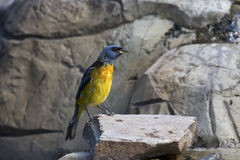 Blue-and-yellow Tanager which sits on a rocky outcrop Stock Photo