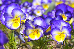 Blue and yellow violas flowers. Background of blue and yellow violas flowers Royalty Free Stock Photography
