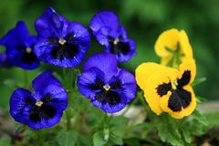 Blue and yellow violets. Growing in garden in natural surroundings Stock Images